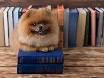 Klyftig pomeranian hund med en bok En hund beskyddade i en filt med en bok Allvarlig hund med exponeringsglas Hund i ett arkiv Royaltyfri Foto
