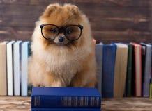 Klyftig pomeranian hund med en bok En hund beskyddade i en filt med en bok Allvarlig hund med exponeringsglas Hund i ett arkiv Arkivbild