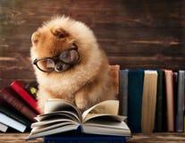 Klyftig pomeranian hund med en bok En hund beskyddade i en filt med en bok Allvarlig hund med exponeringsglas Hund i ett arkiv Royaltyfria Foton