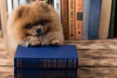 Klyftig pomeranian hund med en bok En hund beskyddade i en filt med en bok Allvarlig hund med exponeringsglas Hund i ett arkiv Royaltyfri Fotografi