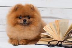 Klyftig pomeranian hund med en bok En hund beskyddade i en filt med en bok Allvarlig hund med exponeringsglas Hund i ett arkiv Fotografering för Bildbyråer