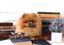 Klyftig pomeranian hund med en bok En hund beskyddade i en filt med en bok Allvarlig hund med exponeringsglas Hund i ett arkiv Royaltyfria Bilder