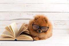 Klyftig pomeranian hund med en bok En hund beskyddade i en filt med en bok Allvarlig hund med exponeringsglas Hund i ett arkiv Royaltyfri Bild