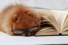 Klyftig pomeranian hund med en bok En hund beskyddade i en filt med en bok Allvarlig hund med exponeringsglas Hund i ett arkiv Arkivbilder