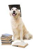 Klyftiga labrador retriever på isolsted vit Fotografering för Bildbyråer