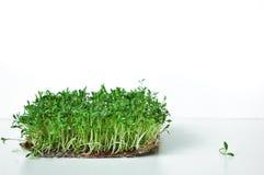Klyftiga sunda matgräsplaner Lepidium sativum för Microgreen kryddkrassesallad Årlig växt som används brett, i medicin och att la arkivbilder