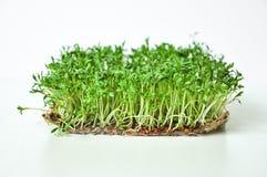 Klyftiga sunda matgr?splaner Lepidium sativum f?r Microgreen kryddkrassesallad ?rlig v?xt som anv?nds brett, i medicin och att la royaltyfri bild