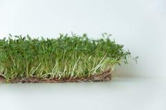 Klyftiga sunda matgr?splaner Lepidium sativum f?r Microgreen kryddkrassesallad ?rlig v?xt som anv?nds brett, i medicin och att la arkivfoton