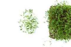 Klyftiga sunda matgr?splaner Lepidium sativum f?r Microgreen kryddkrassesallad ?rlig v?xt som anv?nds brett, i medicin och att la royaltyfria foton