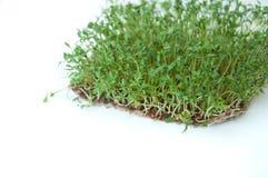 Klyftiga sunda matgr?splaner Lepidium sativum f?r Microgreen kryddkrassesallad ?rlig v?xt som anv?nds brett, i medicin och att la royaltyfria bilder