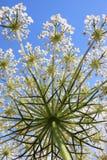Kminu kwiat Zdjęcie Royalty Free