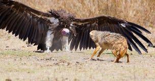 Kämpfen Sie zwischen Geier und wildem Hund in Afrika Stockfotos