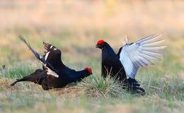 Kämpfende Moorhühner Stockbilder