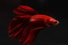 Kämpfender reiner roter langer Schwanz Fische Thailands Lizenzfreies Stockfoto