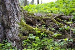 Knäckte det långt rotar av ett träd klibbar ut utanför täckt med grön mossa Pittoreskt rotar av ett gammalt träd royaltyfri bild