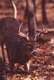 knäfalla whitetail för hjortar Royaltyfri Bild