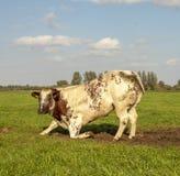Knäfallakon med tjocka bakdelar, ko står upp och att se förvånad fotografering för bildbyråer