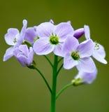 knäpp blomma Royaltyfri Fotografi