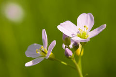 knäpp blomma Royaltyfria Foton