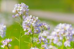 Knäpp blomma (Cardaminepratensisen) Fotografering för Bildbyråer