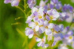 Knäpp blomma (Cardaminepratensisen) Arkivfoto