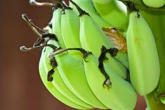 knäpp bruna grodor Royaltyfri Bild