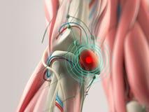 Knäskada för anatomimodellvisning Arkivbilder
