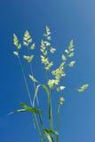 Knäuelgras gegen blauen Himmel Stockfoto