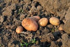 Knölar av potatisen Fotografering för Bildbyråer