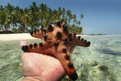 Knölig havsstjärna, Mabul ö, Sabah Royaltyfri Foto
