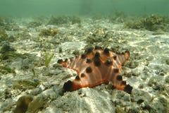 Knölig havsstjärna, Mabul ö, Sabah Royaltyfri Fotografi