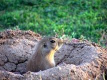 Knaagdier in nest 1 Royalty-vrije Stock Foto