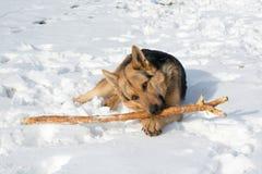 Knaagt de hond Duitse herder aan een stok op de sneeuw stock foto's