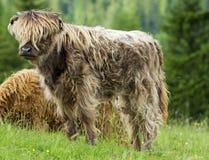 Knabe, rotbraunes Hochland-Vieh Stockbild