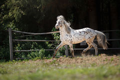 Knabstrup appaloosa horse trotting in a meadow Stock Images