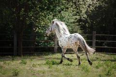 Knabstrup appaloosa horse trotting in a meadow Stock Image