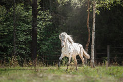 Knabstrup appaloosa horse trotting in a meadow Royalty Free Stock Images