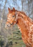 Knabstrup horse Stock Image