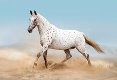 Knabstruppaard die in woestijn lopen stock foto