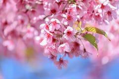 Knacka blommatigern Arkivfoton