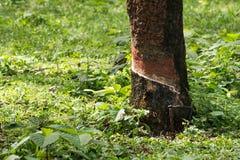 Knackande lätt på gummi, lifes för den Rubber kolonin, bakgrund för den Rubber kolonin, gummiträd i Thailand gör grön bakgrund Royaltyfria Bilder