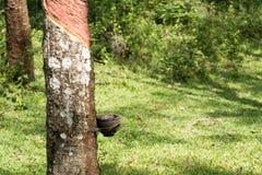 Knackande lätt på gummi, lifes för den Rubber kolonin, bakgrund för den Rubber kolonin, gummiträd i Thailand gör grön bakgrund Arkivbilder