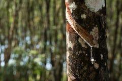 Knackande lätt på gummi, lifes för den Rubber kolonin, bakgrund för den Rubber kolonin, gummiträd i Thailand gör grön bakgrund Royaltyfri Foto