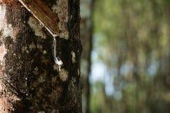 Knackande lätt på gummi, lifes för den Rubber kolonin, bakgrund för den Rubber kolonin, gummiträd i Thailand gör grön bakgrund Royaltyfri Fotografi
