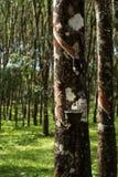 Knackande lätt på gummi, lifes för Rubber koloni, bakgrund för Rubber koloni, gummiträd i Thailand Grön bakgrund Arkivbild