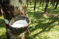 Knackande lätt på gummi, lifes för Rubber koloni, bakgrund för Rubber koloni, gummiträd i Thailand Grön bakgrund Royaltyfri Fotografi