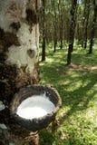 Knackande lätt på gummi, lifes för Rubber koloni, bakgrund för Rubber koloni, gummiträd i Thailand Grön bakgrund Royaltyfria Bilder
