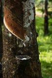 Knackande lätt på gummi, lifes för Rubber koloni, bakgrund för Rubber koloni, gummiträd i Thailand Grön bakgrund Arkivfoton