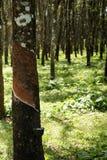 Knackande lätt på gummi, lifes för Rubber koloni, bakgrund för Rubber koloni, gummiträd i Thailand Grön bakgrund Royaltyfri Bild