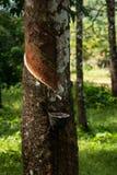 Knackande lätt på gummi, lifes för Rubber koloni, bakgrund för Rubber koloni, gummiträd i Thailand Grön bakgrund Royaltyfria Foton